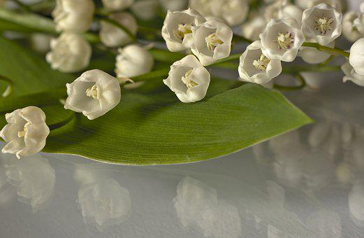 Lily Of The Valley, Flowers, Flower Panicle, Maieriesli