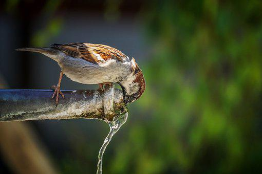Sparrow, Male, Bird, Drink, Faucet, Fountain, Water