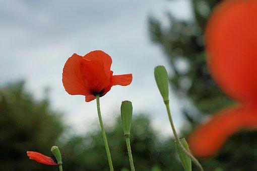 Poppy, Red, Poppy Flower, Klatschmohn, Meadow