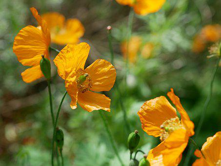 Poppy, Yellow, Mohngewaechs, Blossom, Bloom