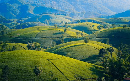 Mountains And Hills, Tea, The Leaves, The Hill