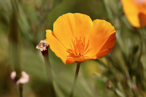 Gold Poppy, Poppy, Sleepy, Orange, Bright, Petals