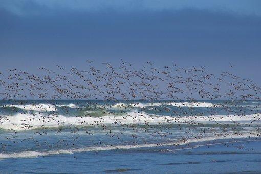 Birds, Sea, Flock Of Birds, Beach, Pacific, Ocean