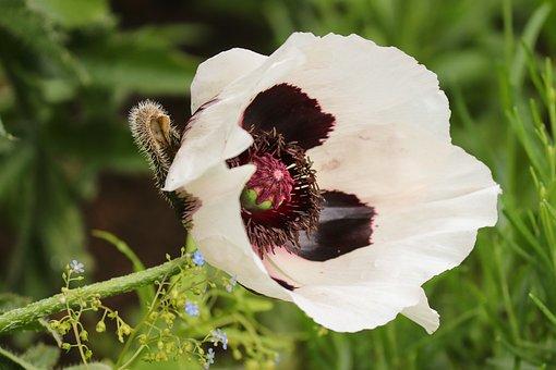 Poppy Flower, Papaver Orientale, White, White Poppy