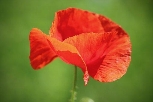 Poppy, Poppy Flower, Petals, Red