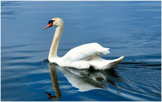 Swan, Water, Plumage, Lake, Bird, Nature, Water Bird