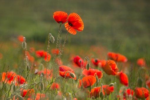 Poppy, Klatschmohn, Nature, Poppy Flower, Meadow