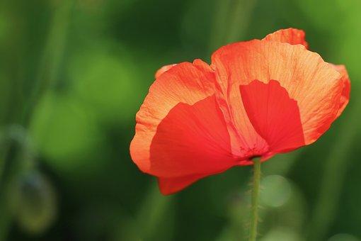 Poppy Flower, Poppy, Klatschmohn, Petals