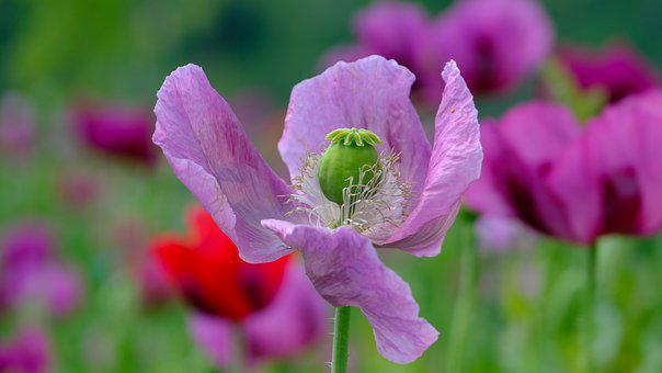 Poppy, Violet, Poppy Flower, Nature, Mohngewaechs