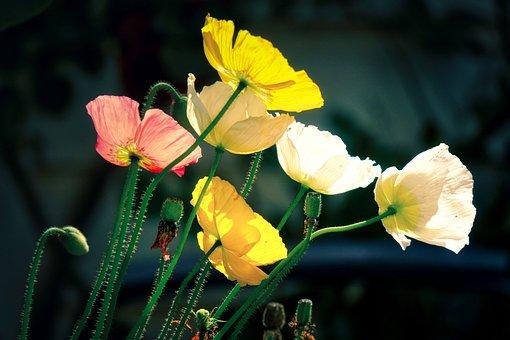 Poppy, Yellow, Pink, White, Flowers