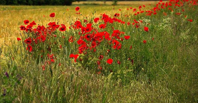 Poppies, Red, Blossom, Bloom, Klatschmohn, Flowers