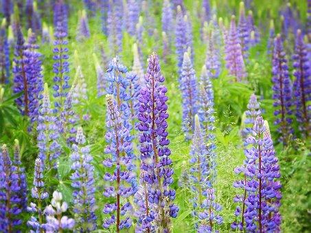 Lupine, Lupin Field, Flowers, Blue, Purple, Romance