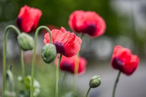 Poppies, Meadow, Side Of The Road, Klatschrose, Flowers
