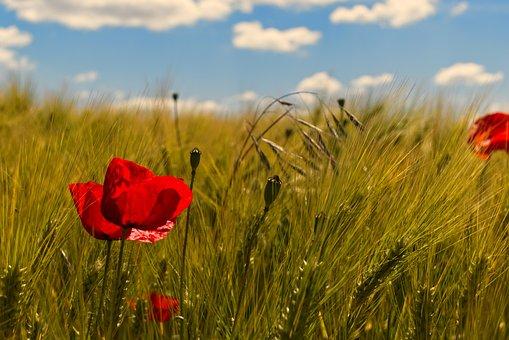 Poppy, Wheat, Summer, Field, Red