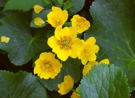 Marsh Marigold, Yellow, Flower, Toxic, Plant