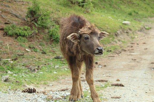 Calf, Buffalo, Animal, Nature, Mammal, Wildlife
