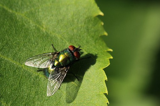 Fly, Green, Leaf, Close Up, Insect, Wing, Animal, Macro