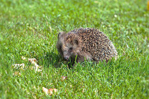 Hedgehog, Hannah, Animal, The Spines Of A Prickly