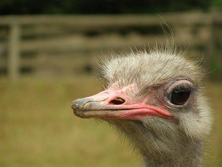 Emu, Bouquet, Flightless Bird, Bird