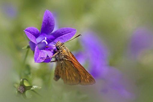 Butterfly, Insect, Macro, Flower, Bellflower, Garden