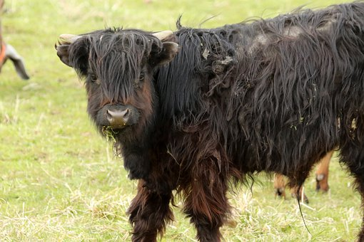 Cow, Highlander, Scotland, Beef, Horns, Animal, Cattle