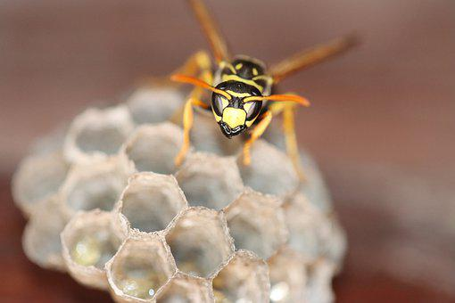 Hornet, Wasp, Bee, Insect, Animal, Nature, Close Up