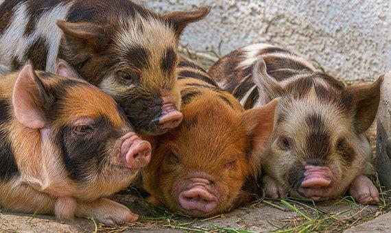 Piglet, Pigs, Breed Pig Kunekune, Animal Babies, Cute