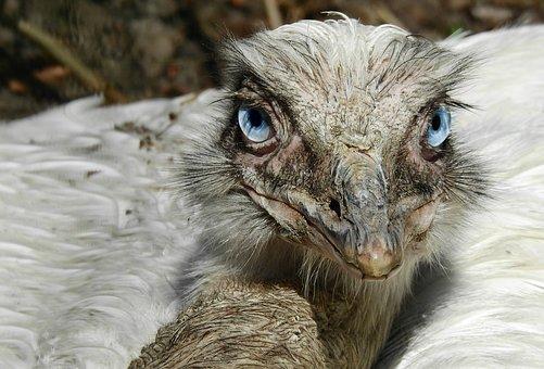 Greater Rhea, Flightless Bird, Beak, Eye