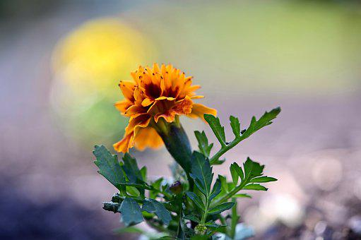 Marigold, Flower, Orange, Plant
