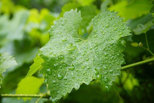 Wine, Leaf, Vineyard, Agriculture, Green, Raindrops