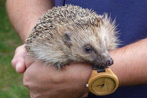 Hedgehog, Spiny, Mammal, Handled, Nature, Exhibited