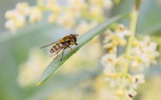 Insect, Hoverfly, Fly, Disguised, Wasp, Forage, Pollen