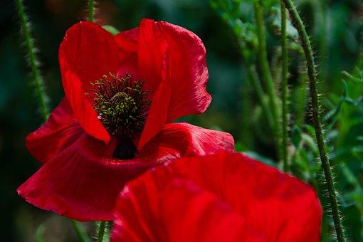Poppy, Blossom, Bloom, Red, Klatschmohn, Meadow, Summer