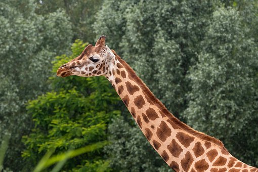 Zoo, Giraffe, Animal, Animal World, Africa, Mammal