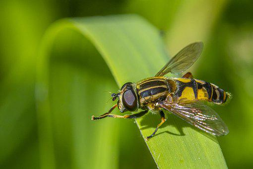 Hoverflies, Syrphidae, Insect, Nature, Fly, Bee, Bloom