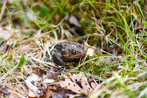 Bull Forg, Frog, Outdoors, Bullfrog