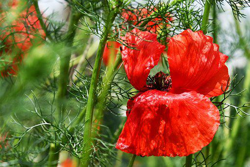 Poppy, Red, Petals, Flower, Blooms At, Meadow, Spring