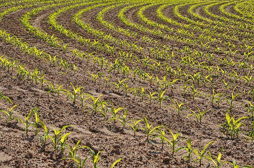 Field, Agriculture, Vegetables, Plant, Cereals, Wheat