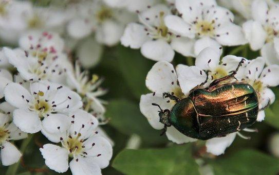 Insect, Rainbow, Pollen, Flowers, Beetle, Crataegus