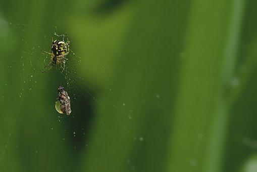 Spider, Zebraspinne, Small, Web, Prey, Fly, Wasp Spider