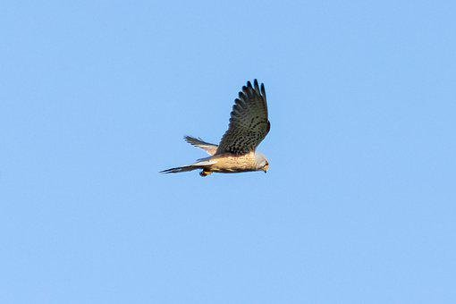 Red-Footed Falcon, Bird Of Prey, Fly