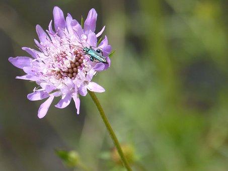 Flower, Scabiosa, Green Beetle