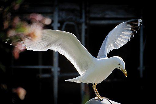 Seagull, Flight, Ali, Freely, Freedom, Bird, Animal