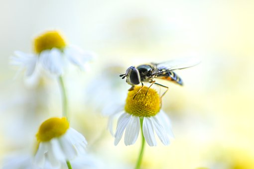 Wasp, Bee, Summer, Chamomile, Flower Meadow, Meadow