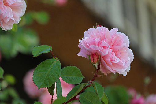 Rosebush, Front Yard, Thatched Roofs