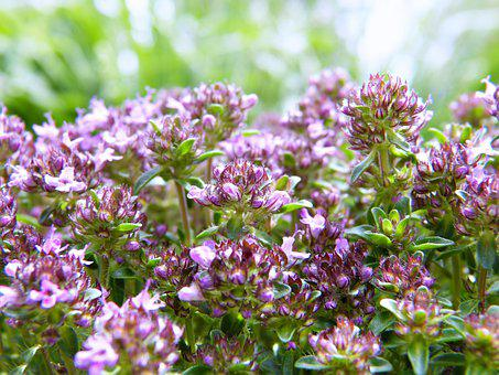 Sand Thyme, Thyme, Pink, Herbs, Cure, Homeopathy