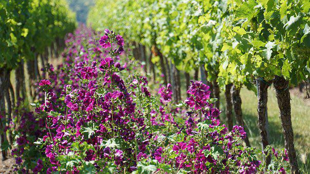 Vineyard, Sachsen, Wine, Pink Flowers, Vine