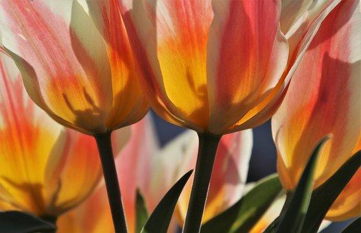 Tulip, Increases, Yellow, Back Lighting, Nice, Tulips