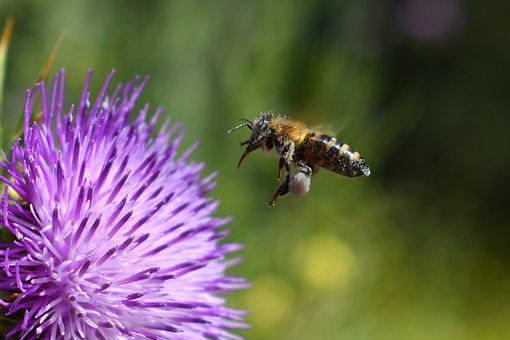 Bee, Pollination, Thistle, Flower, Plant