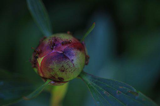 Peony, Ants, Armeise, Plant, Spring, Blossom, Bloom